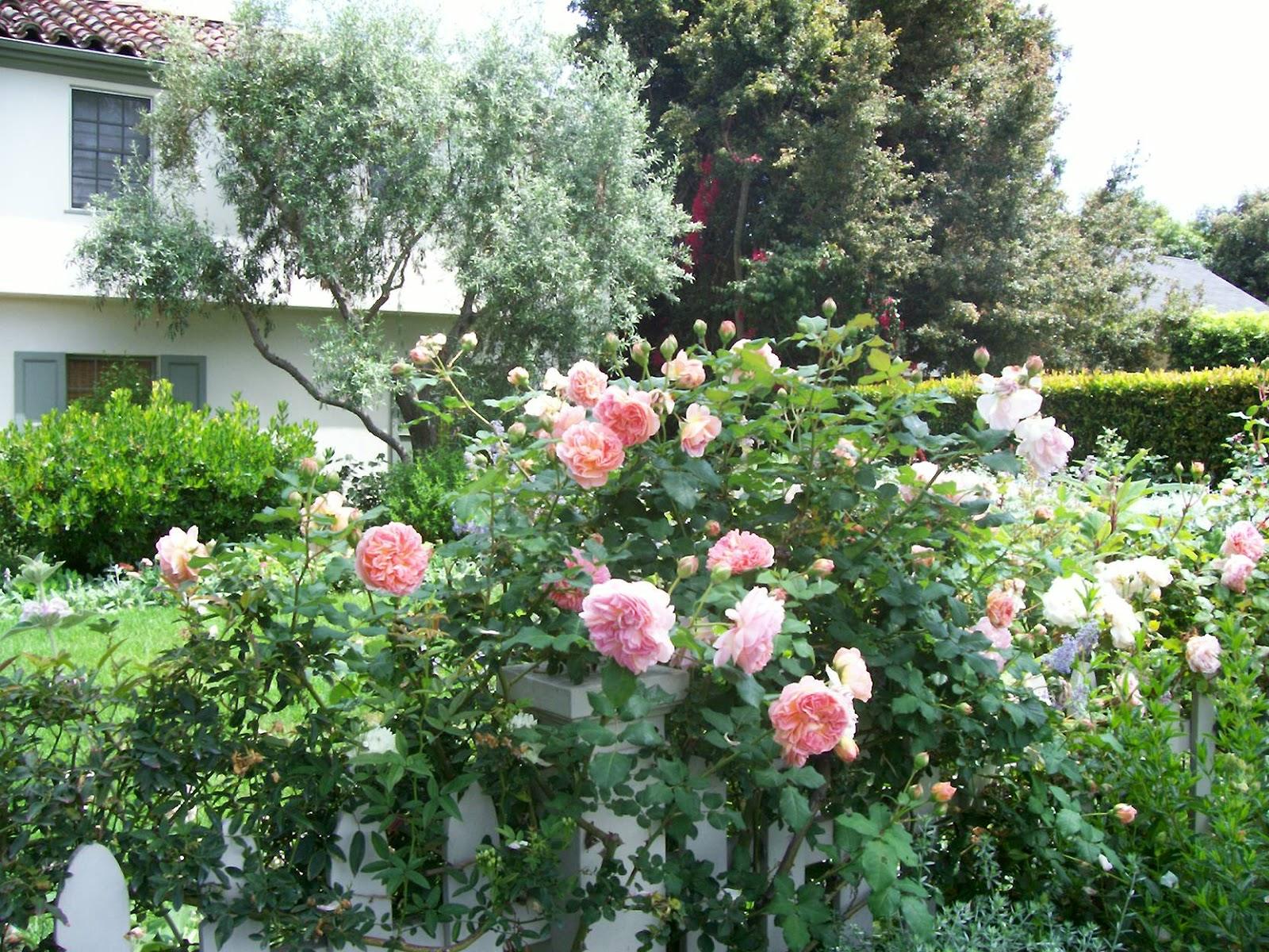 Cape Cod Rose Part - 26: One Of Taniau0027s Favorite Pink Roses Is The Cape Cod Variety. The Cape Cod  Rose Grows As A Shrub And Is Perfect To Integrate Into Your Garden  Landscape.