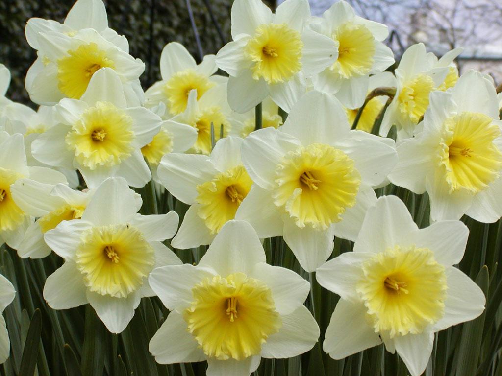 Pistacchio e nocciola narcisi in fiore for Bulbi narcisi