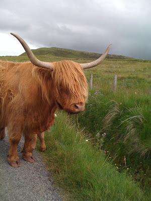 Isle of Skye in Scotland Highland Cattle
