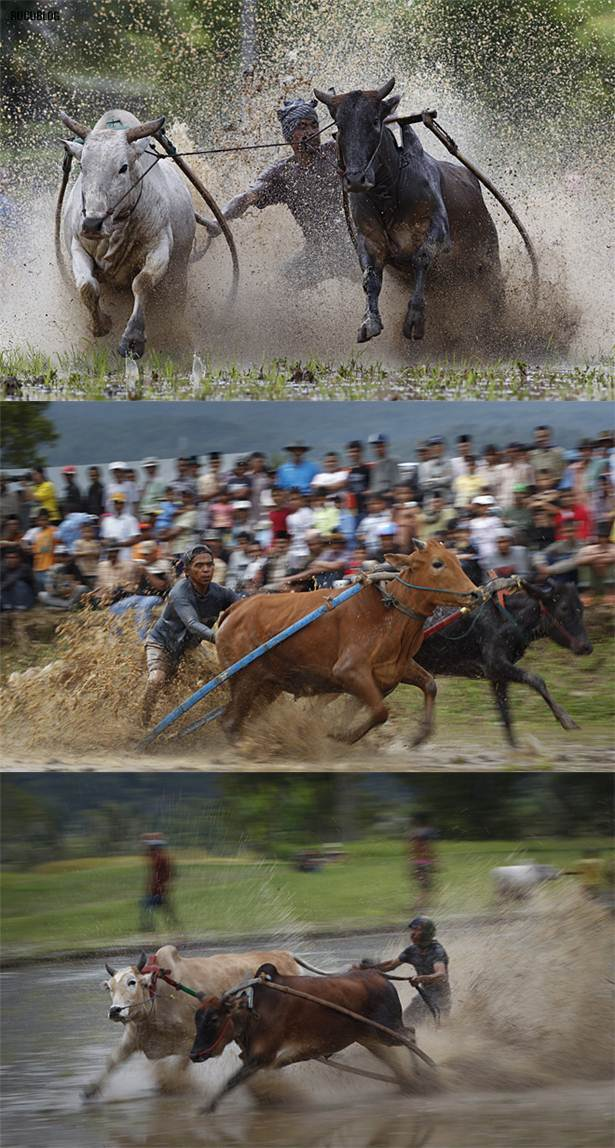 perlumbaan lumba lembu di sawah padi indonesia2