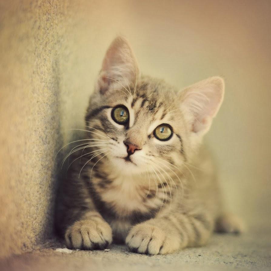 Nuri Casuarina Kucing