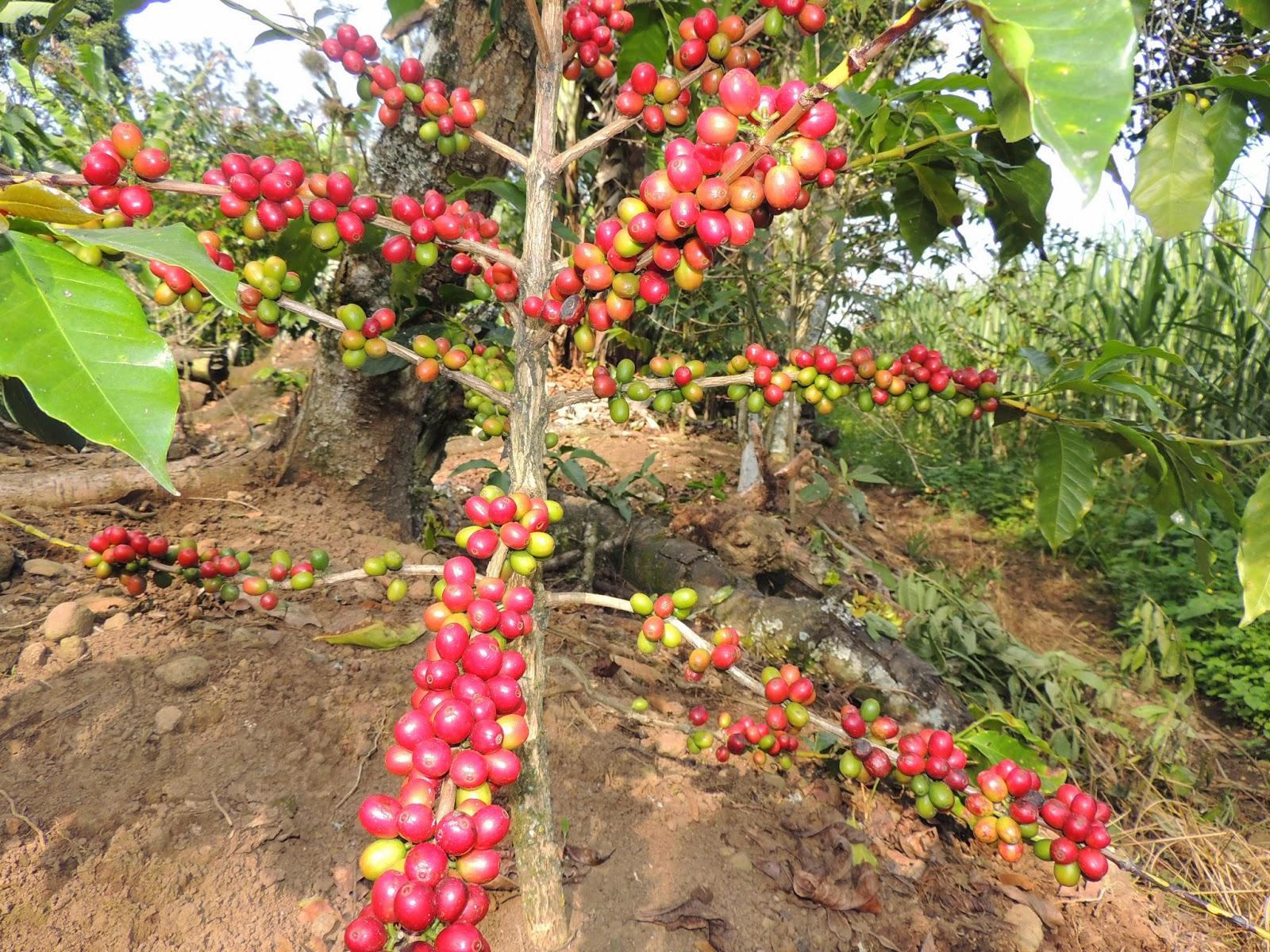 Caf campo y ambiente es verdad que el caf puede for Que es una mesa de cultivo
