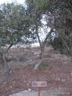 Showing the Wattle plant in Cyprus