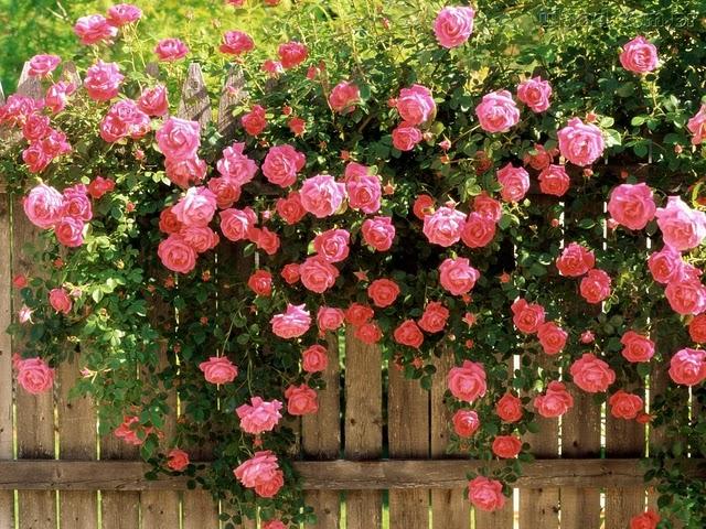 ETERNO As rosas do meu jardim