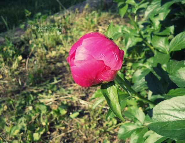 Pink unopened Peony