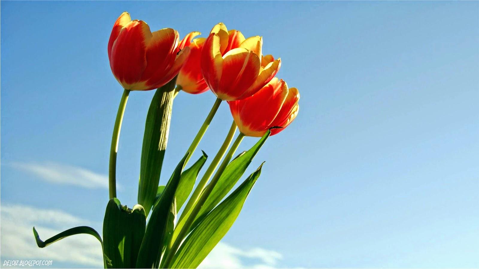 Hd wallpaper untuk laptop - Wallpaper Bunga Tulip Merah Deloiz Wallpaper