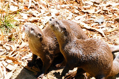 Asian Short-clawed Otters 7472