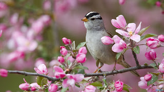 download flowers branch sparrow bird 1920x1080 hd wallpaper 2013