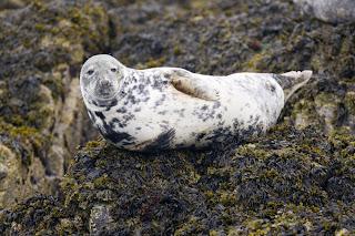 grey_seal
