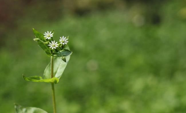 Stellaria Media Flowers