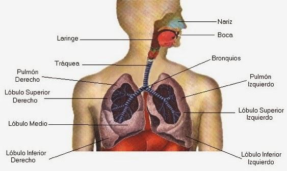 Clase 3. Anatomía del aparato respiratorio | Respiración para ...