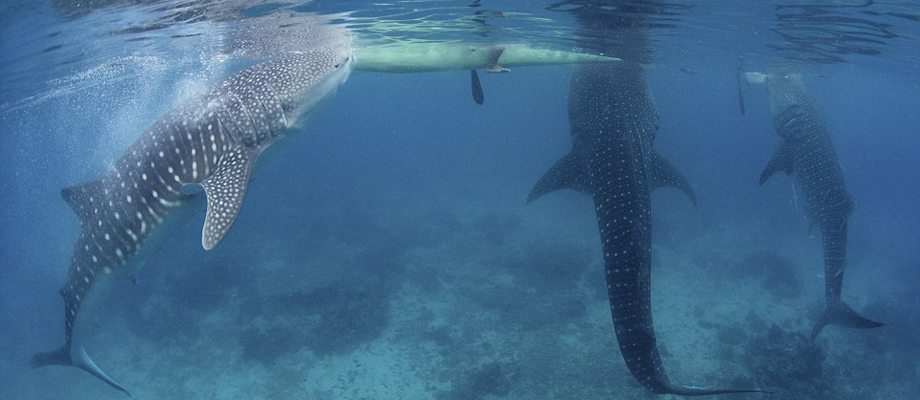 Oslob Whale Shark Watching (Cebu, South) | Beaches and ...