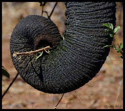 Elefánt ormány