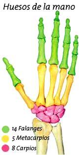 Dibujo de los huesos de la mano indicando con diferentes colores cuales son falanges, metacarpios y carpios