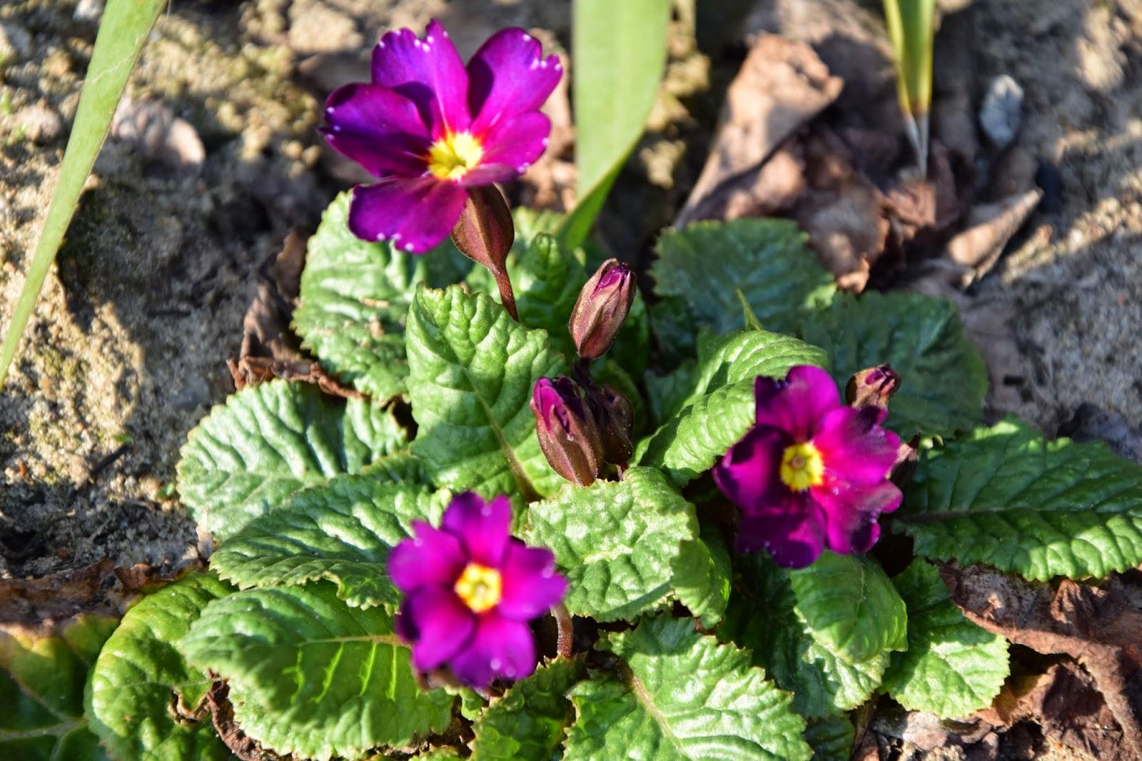 wiosna kwiaty prymulka