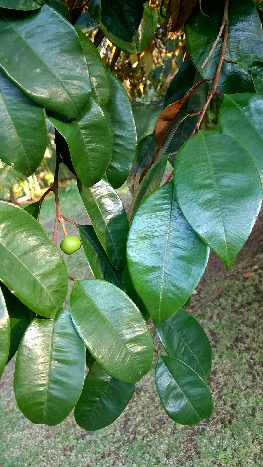leaves, pune, identification