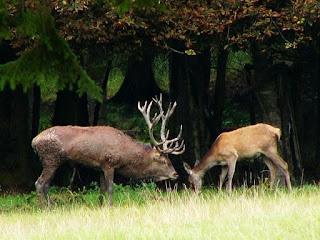 Dimorfismo sexual - veados e cervos