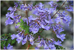 Jacarandá en Flor