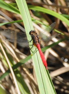 Fiery Skimmer (Orthetrum villosivittatum)
