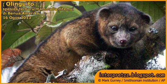 Olinguito: spesies mammalia terbaru.