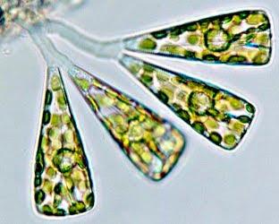 Licmophora dalmatica.