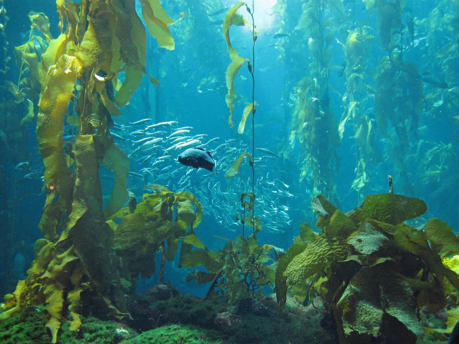Kelp Forest Tank Monterey Bay Aquarium Shooting From