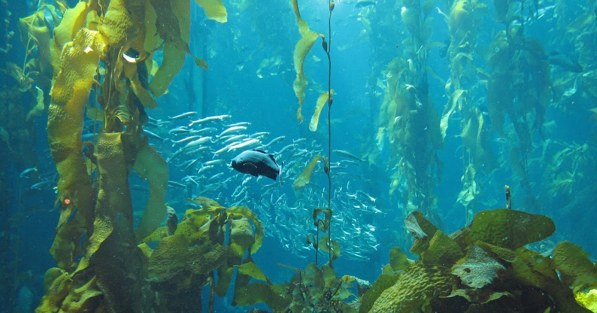 How does kelp adapt to the ocean  Studycom