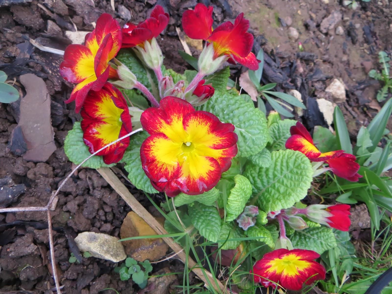 Spring flowers. primroses