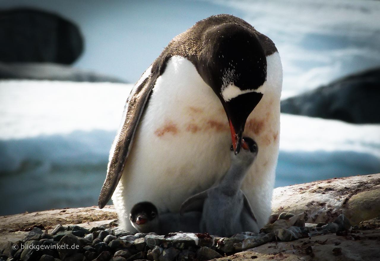 Antarktis, Eselspinguin