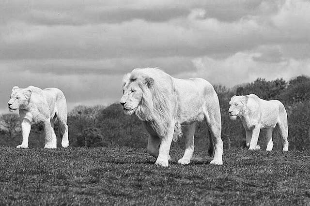 три льва