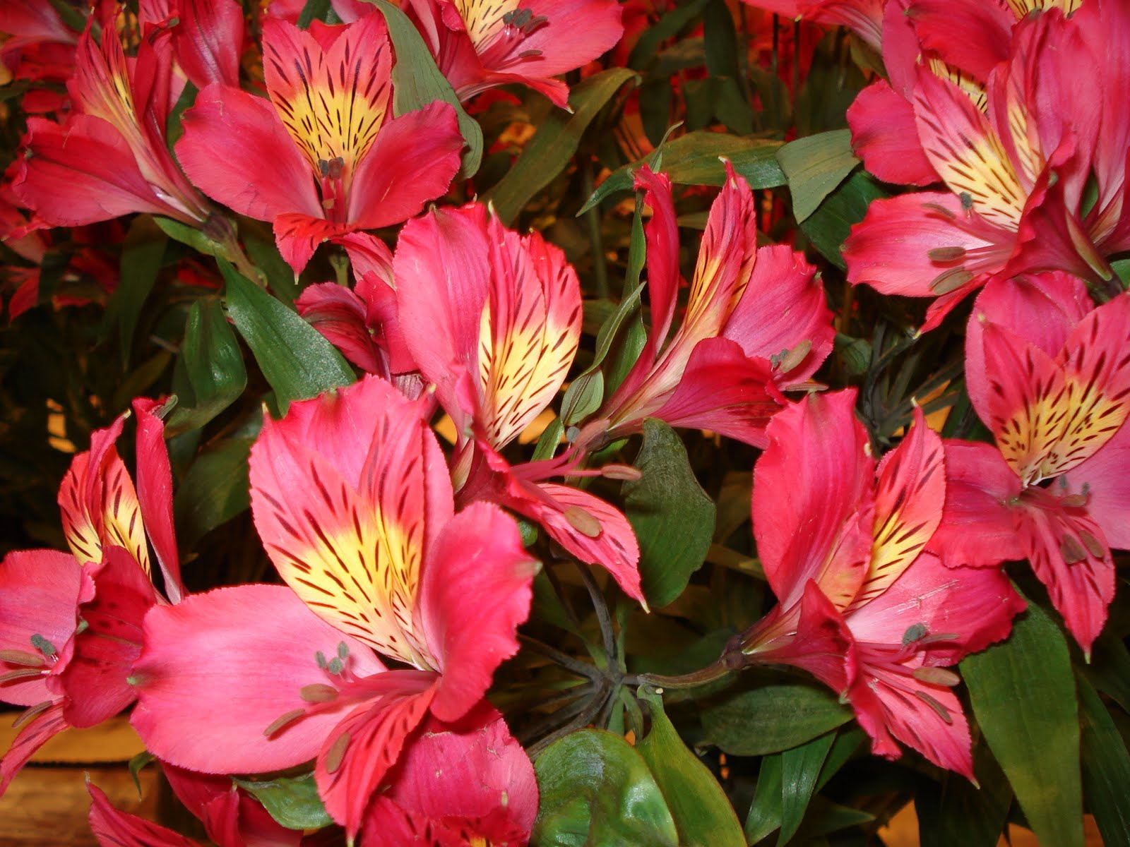 Plants flowers and such always reliable alstroemeria always reliable alstroemeria izmirmasajfo