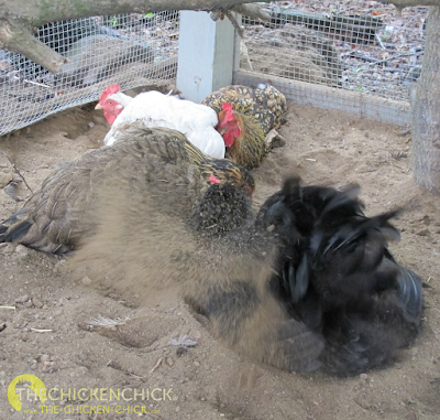A dust bath is the chicken equivalent of a daily shower. Chickens dig shallow spots in dirt, sand, or even flower pots to work into their skin and feathers to aid in skin and feather maintenance and parasite control. A dust bath can be as simple as a dry patch of dirt in the backyard or a shallow bucket filled with sand. No additives or supplements are necessary to accomplish the objective.