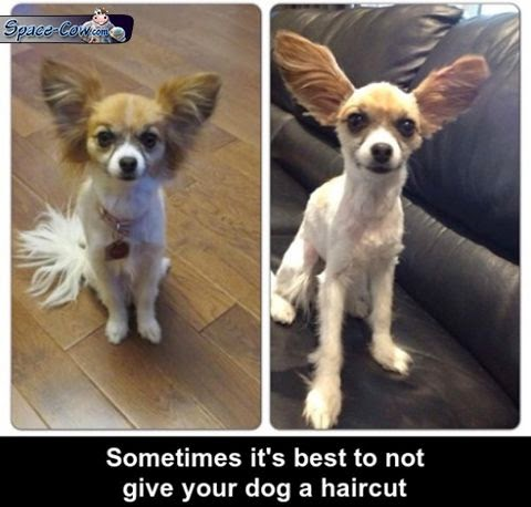 funny dog haircut picture