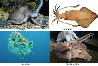 Moluscos cefalópodos: pulpo, calamar, sepia y nautilo