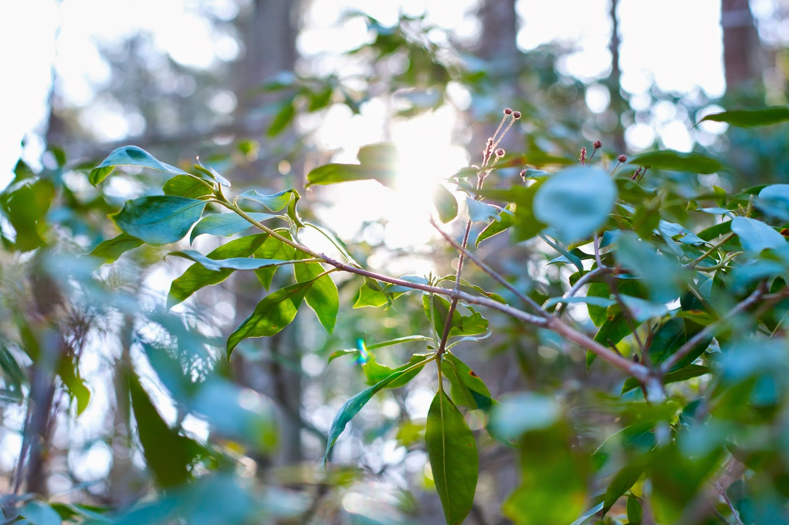 Sunlight shines through mountain laurel in the morning.