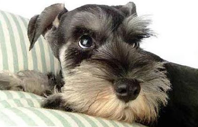 Black Miniature Schnauzer Puppies Pictures
