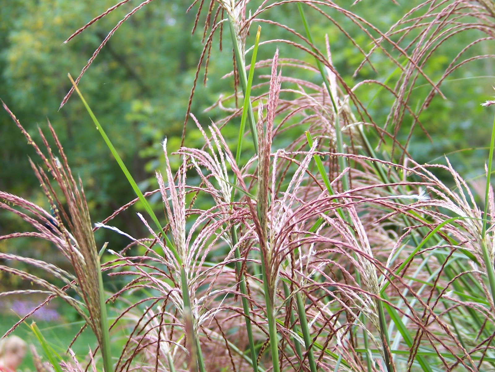 All the dirt on gardening grasses add beauty to gardens for Tall feather grass