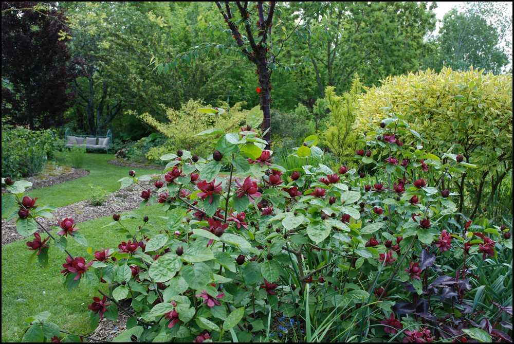 Le jardin du mayet sinocalycanthus raultsonii 39 hartlage wine 39 for Le jardin high wine