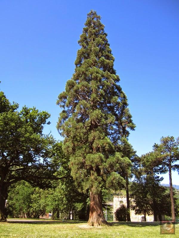 Sequoia en el Parque de Sarriko en Bilbao (Bizkaia)