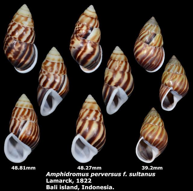 Amphidromus perversus f. sultanus 39.2 to 48.81mm
