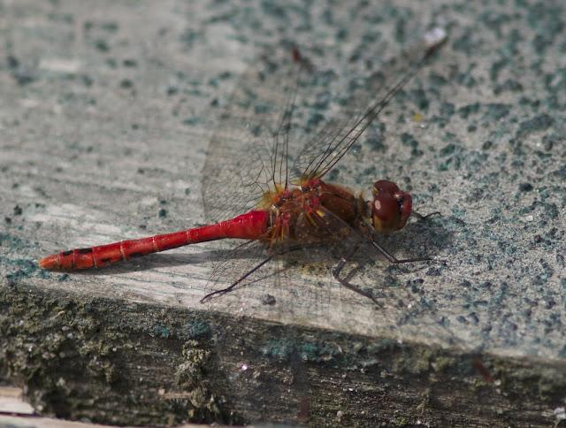 Dragonflies, Rainham, RSPB