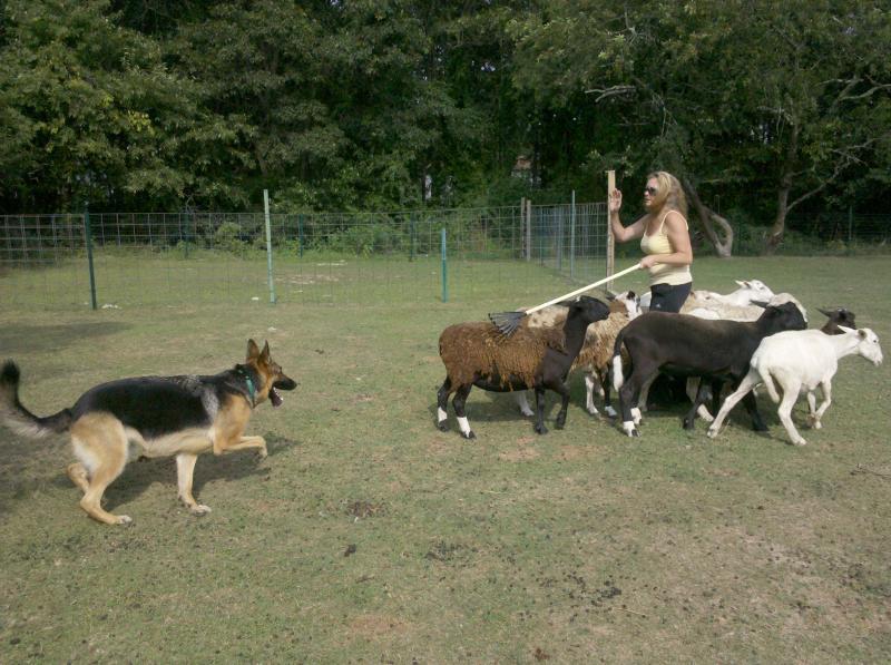how to train an australian shepherd to herd cattle