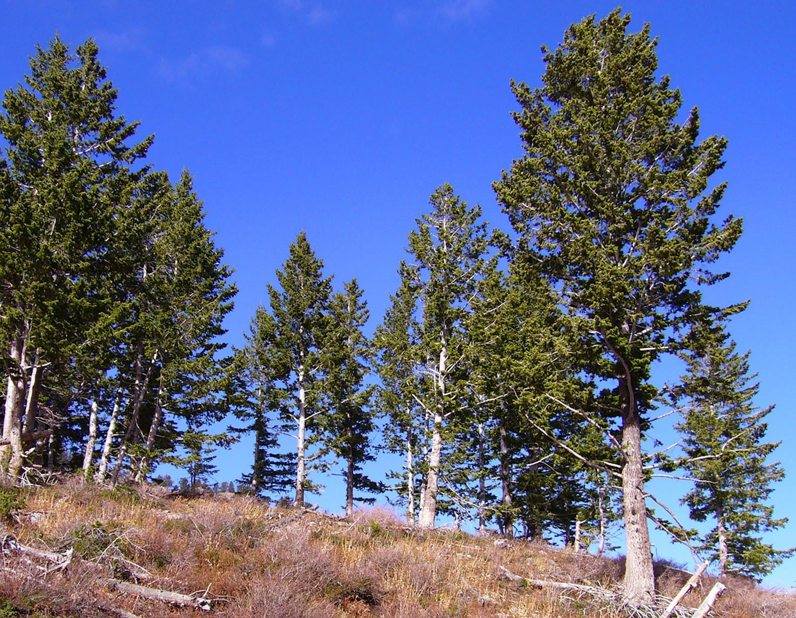 Needleleaf Trees Include Such Familiar As Firs Hemlocks Pines Redwoods And Spruces There Are About 500 Species Of