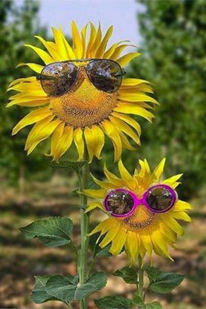 Jokes Humor Sunflower
