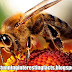 Bee venom kills HIV cells