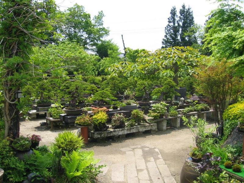Matsu bonsai jardin d 39 abe kenichi for Bonsai de jardin