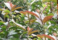 cây xạ đen có nhánh non tròn
