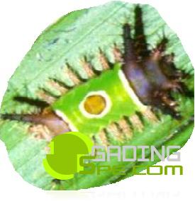 Ulat bulu menyerang daun kelapa sawit