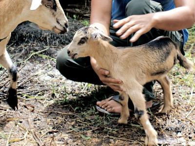 Anak kambing berkaki tiga masih aktif.
