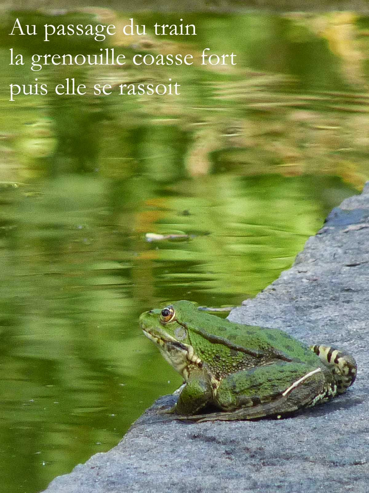 Plages de Silence, haïku etc.: Quelques grenouilles et haïku